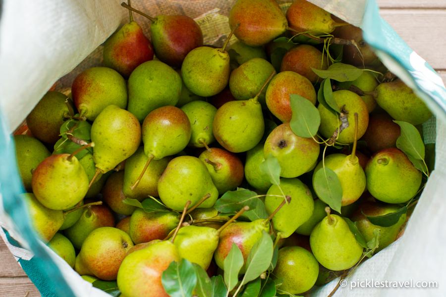 overabundance of pears