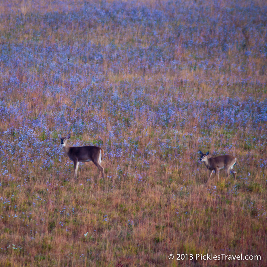 Doe and fawn, deer, in colorful early morning prairie