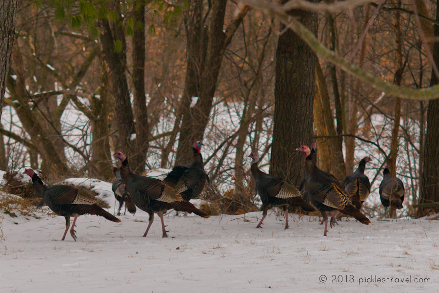 Happy wild turkey day and thanksgiving to all