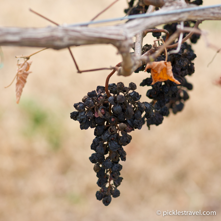 End of the wine grapes for a season at Arrington Vineyards