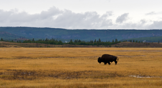 Lone Bison crossing the grasslands