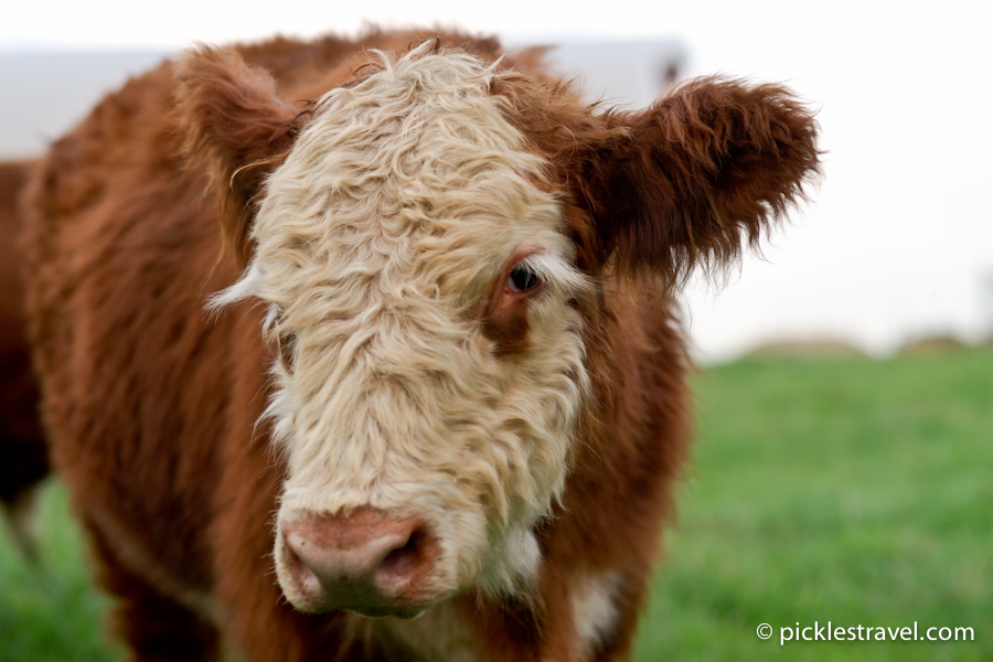 Blushing Coquettish Highland Cattle