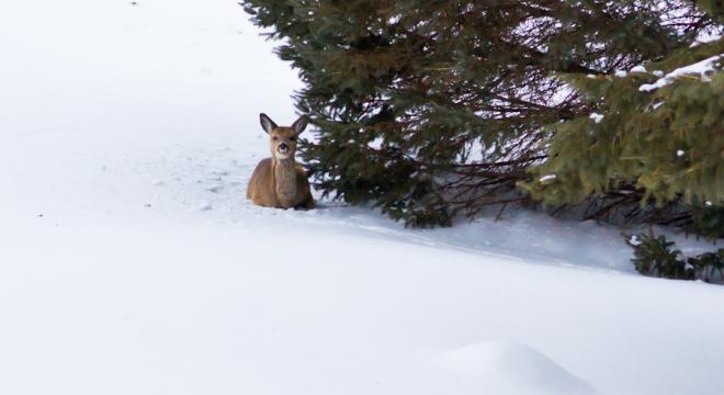 Deer huddled in for the winter