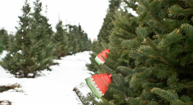 Christmas Tree shopping at a Christmas Tree Farm