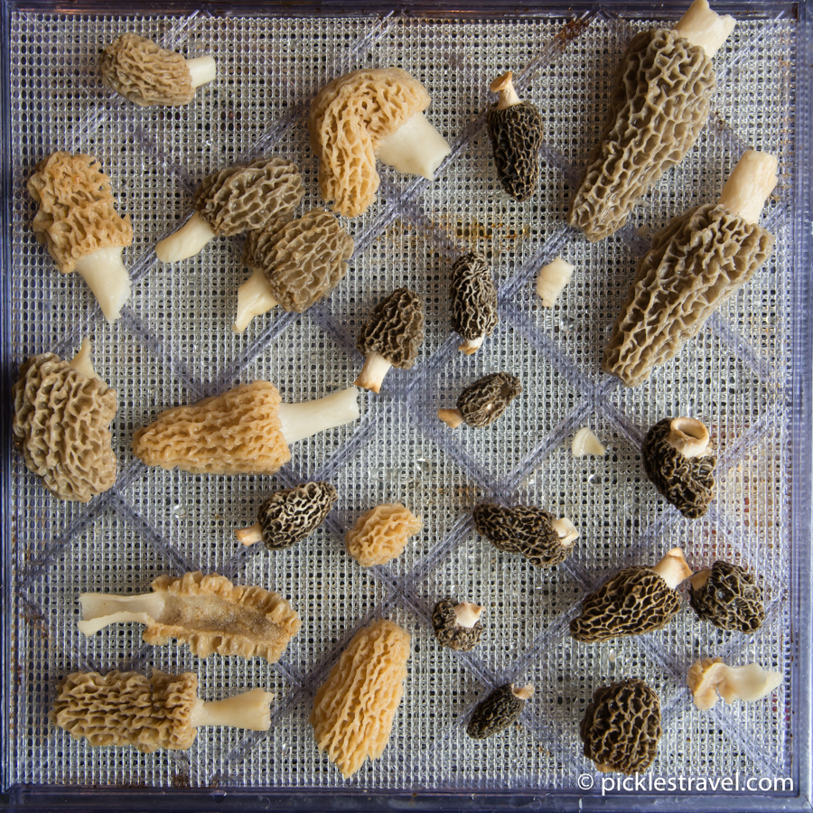 Ready to dehydrate morel mushrooms