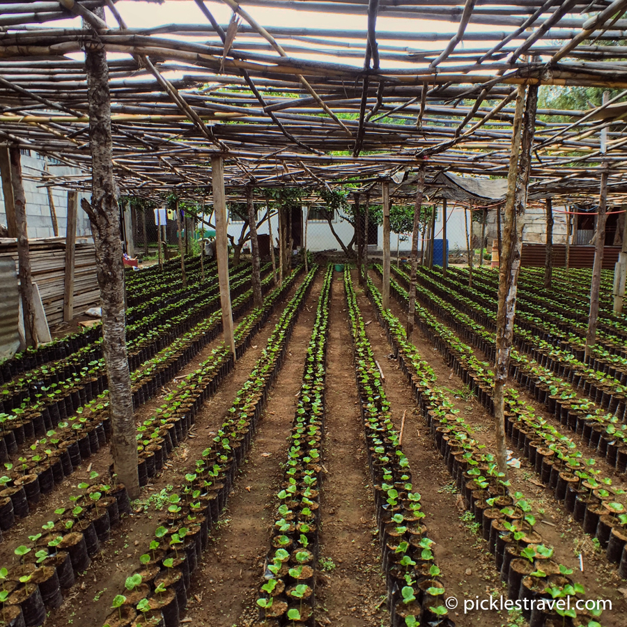 Growing Guatemalan Seedlings