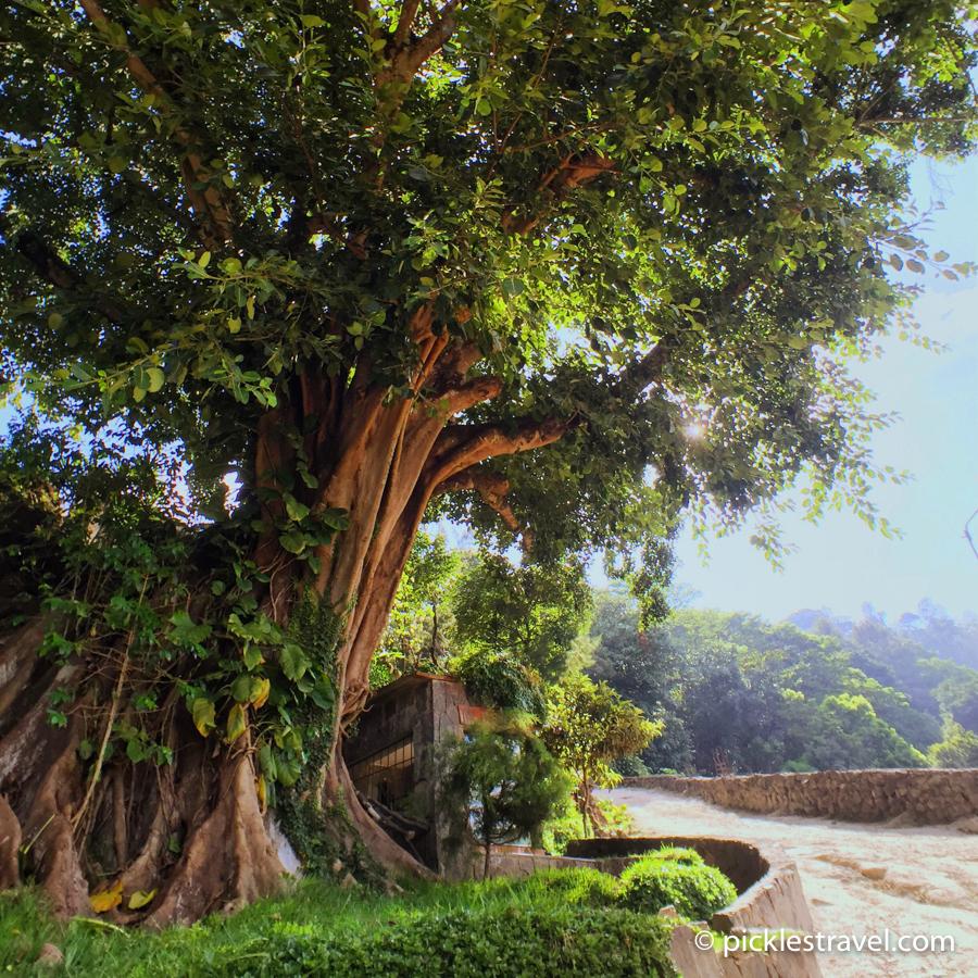 Guatemalan National Tree: Ceiba