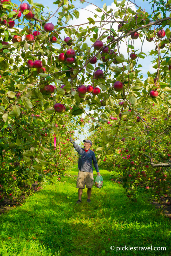Pick an apple at Minnesota Harvest Apple Farm