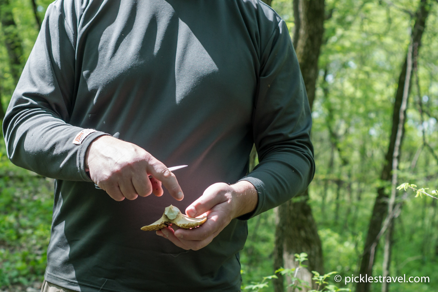 pheasant back mushroom foraging