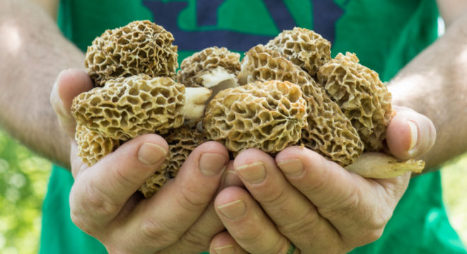 Handful of morel mushrooms