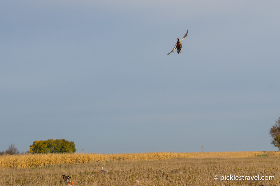 Pheasant in flight with bird dog in pursuit