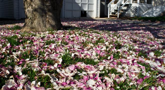 Fallen Magnolia Blossoms