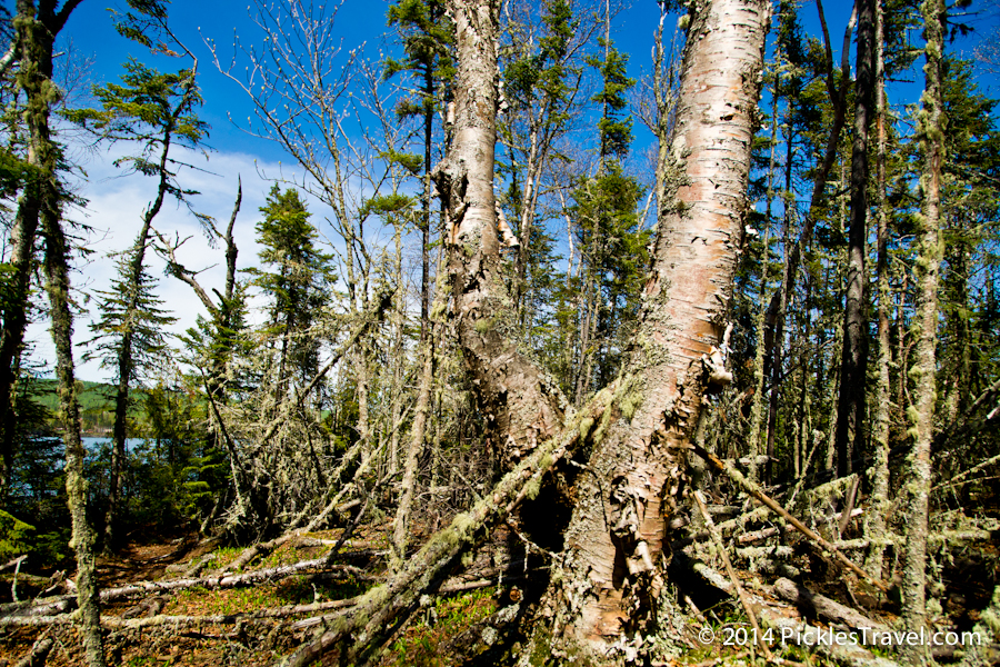 Lake Superior Boreal Forest on Artists Point