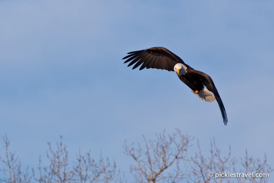 Bald Eagle flys in for a fish in Wabasha