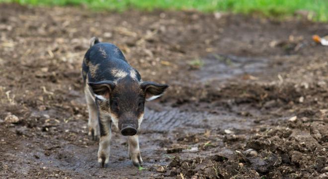 Piglet on the farm running free
